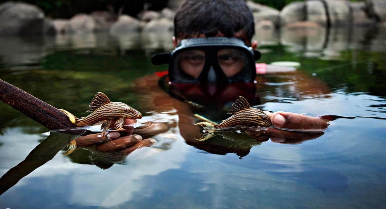 Peixe cascudo na Amazonia