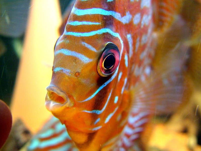 Peixes Amazônicos podem estar com seus dias contados