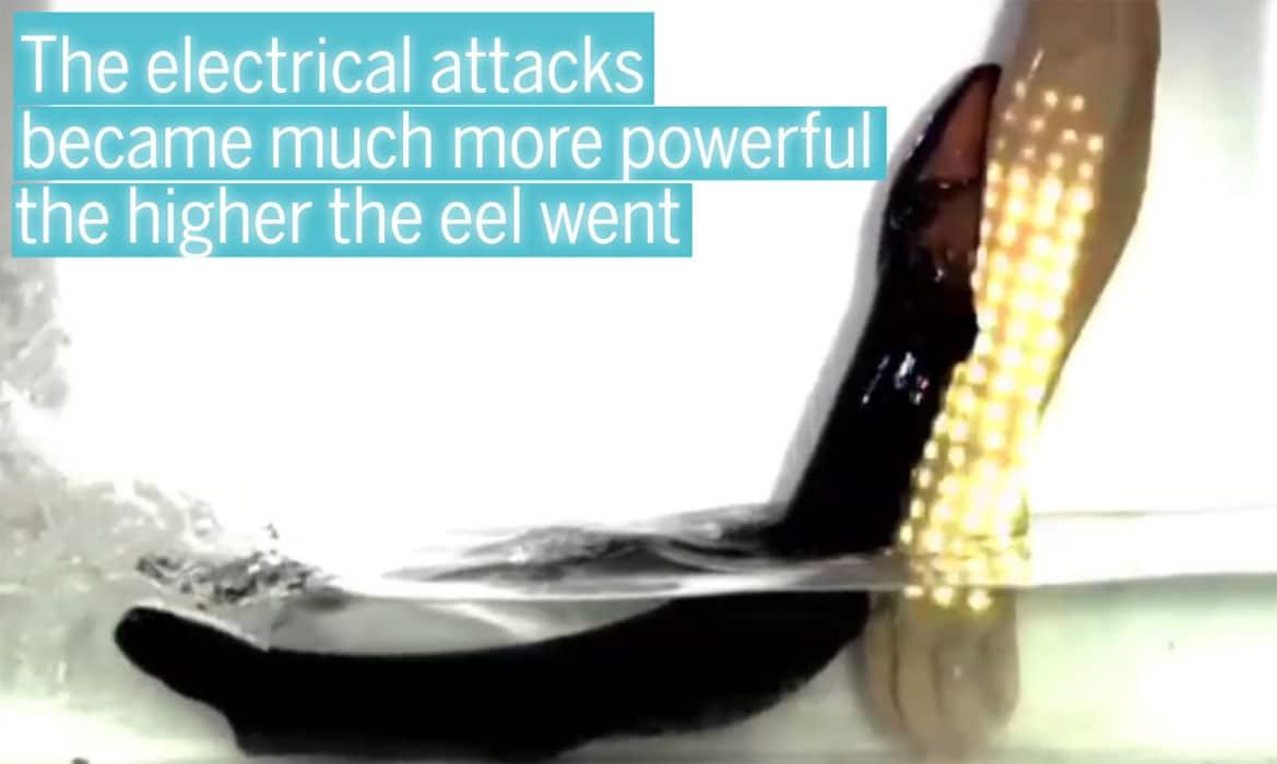 Poraquê-é-mostrado-saltando-da-água-para-eletrizar-ameaças