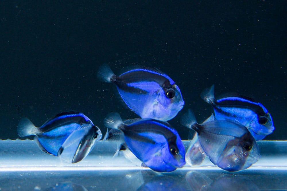 Alevinos de Blue Tang (Paracanthurus hepatus)