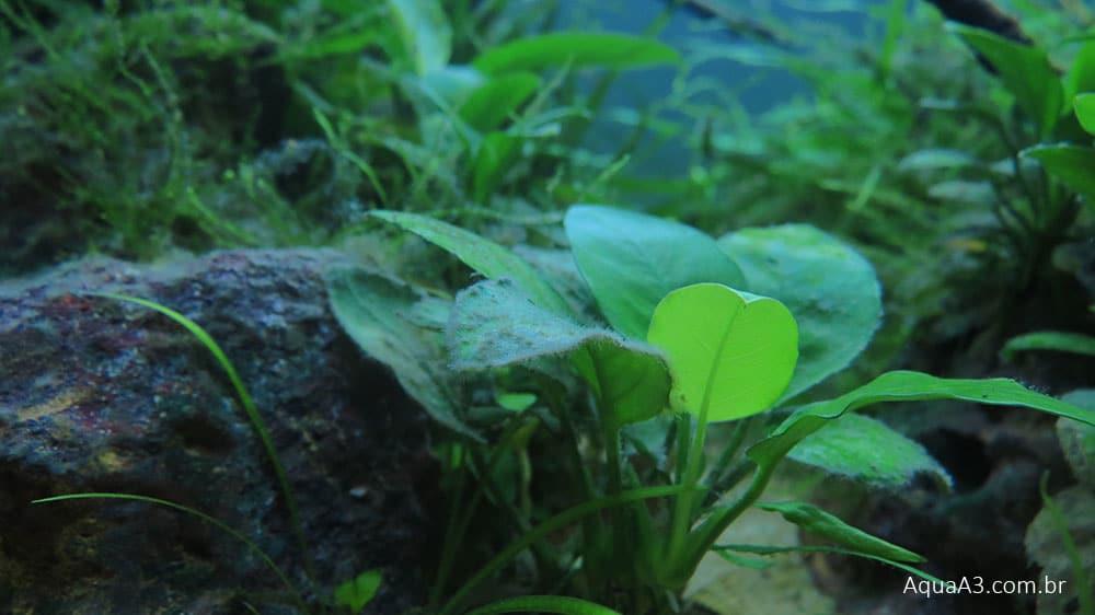 Tratamento de alga peteca