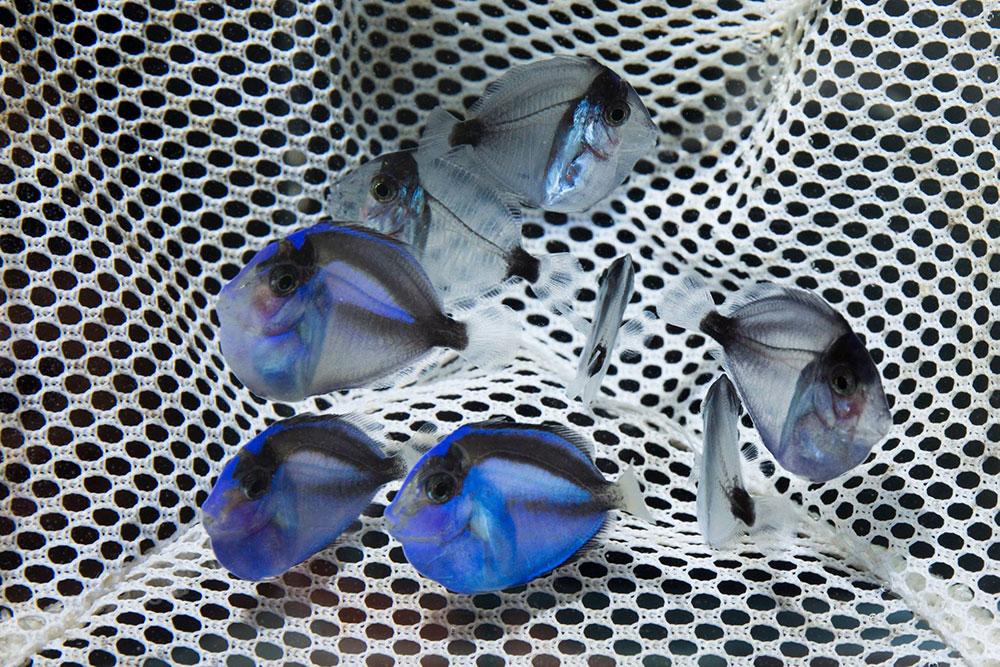 reprodução de blue tang (Paracanthurus hepatus)