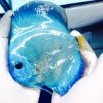 Peixe disco na loja Aquaristika • Convite: Inauguração da loja Aquaristika