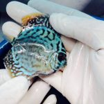 Peixe disco na loja Aquaristika 2 • Convite: Inauguração da loja Aquaristika