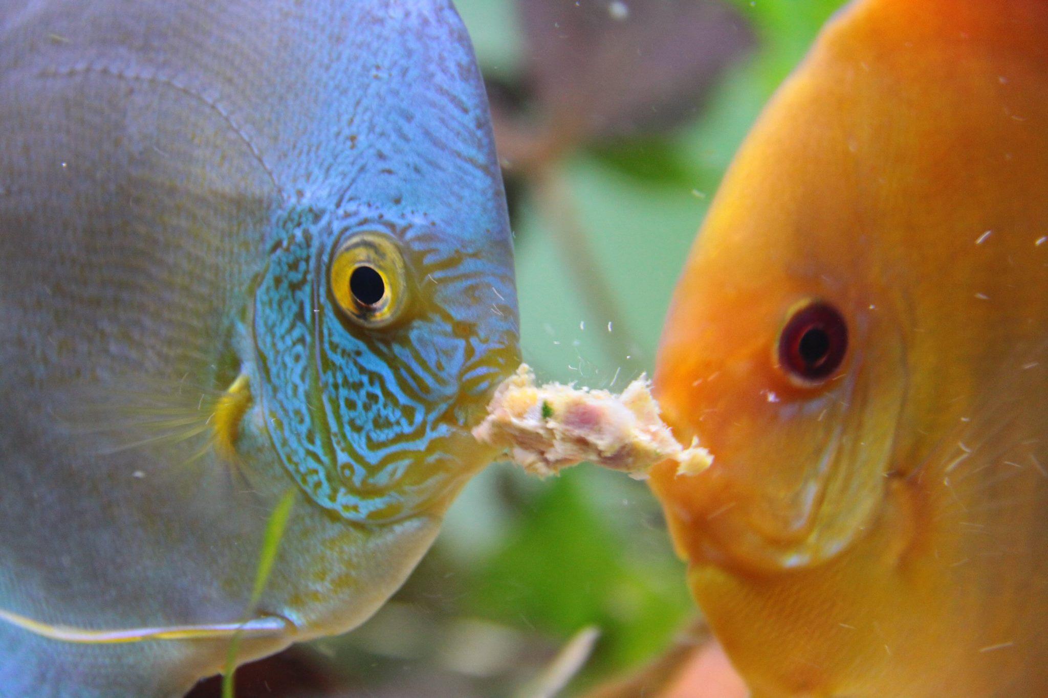Alimentação adequada para os peixes