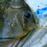 Peixe disco com Hexamita • Protozoários intestinais nos peixes ornamentais