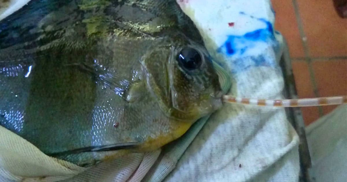 Peixe disco com • Protozoários intestinais nos peixes ornamentais