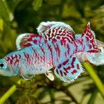 Nothobranchius eggersi • Killifish: Gênero Nothobranchius
