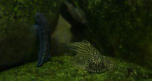 Balitoridae