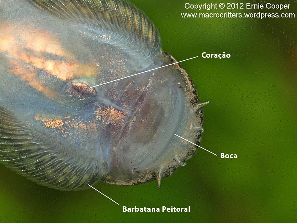 Estrutura da Balitoridae