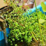 Filtragem do lago plantado • FVM: Transforme uma piscina plástica em lago plantado