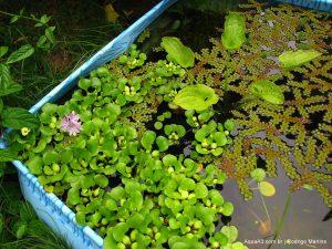 Plantas no lago plantado feito de piscina