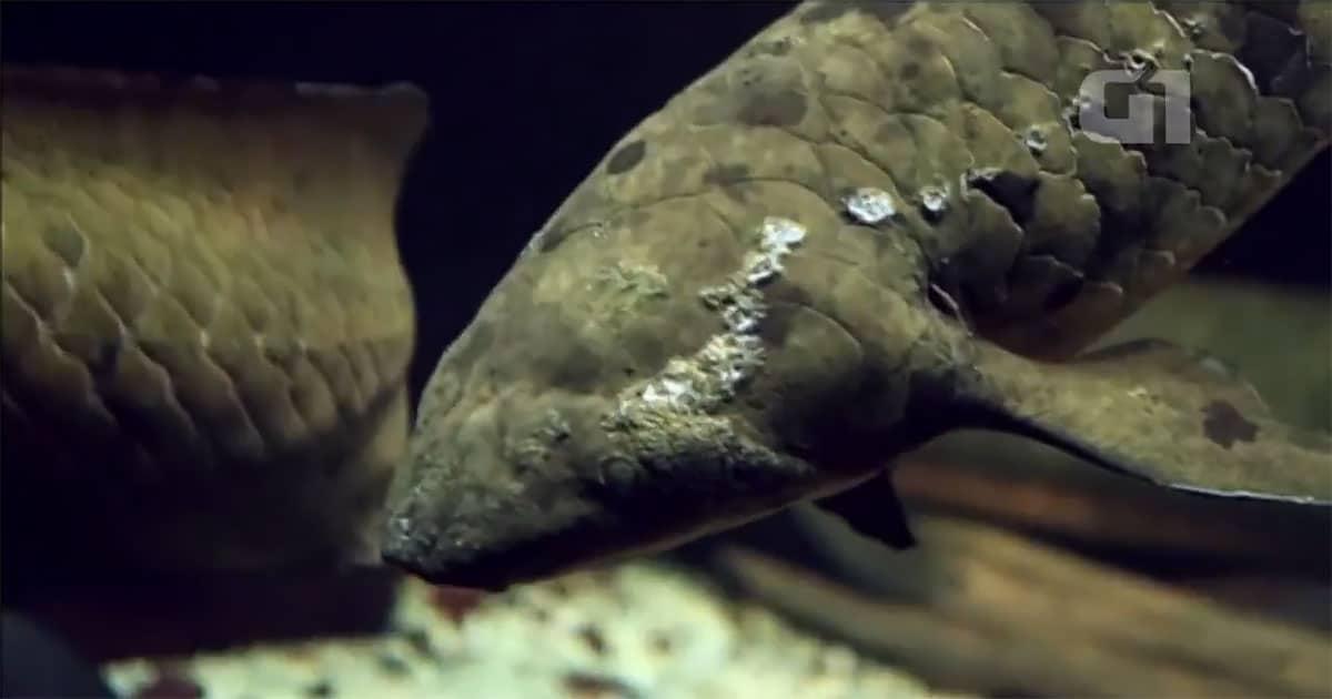 Peixe mais velho do mundo em cativeiro é sacrificado