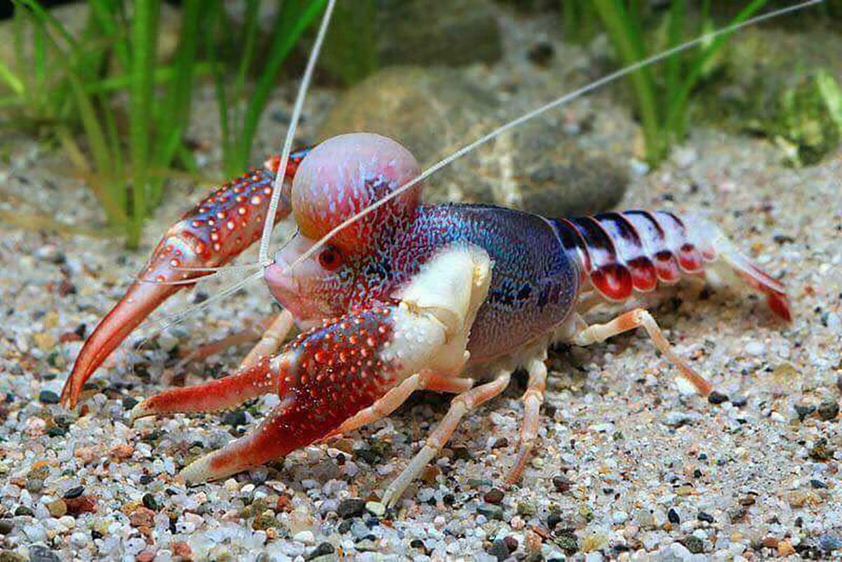 Pesquisadores criam primeiro híbrido de peixe com camarão!