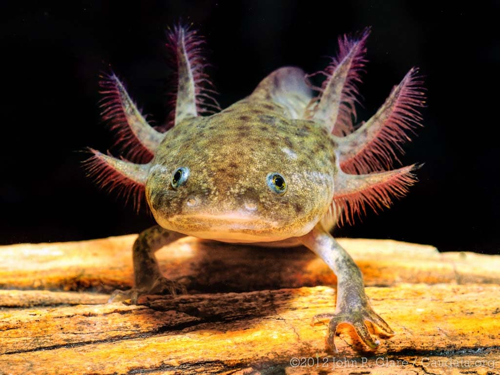 Adulto Axolote (Ambystoma mexicanum)