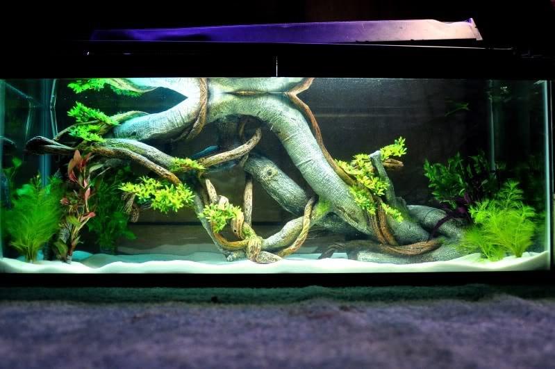 Mantendo Axolotes no aquário