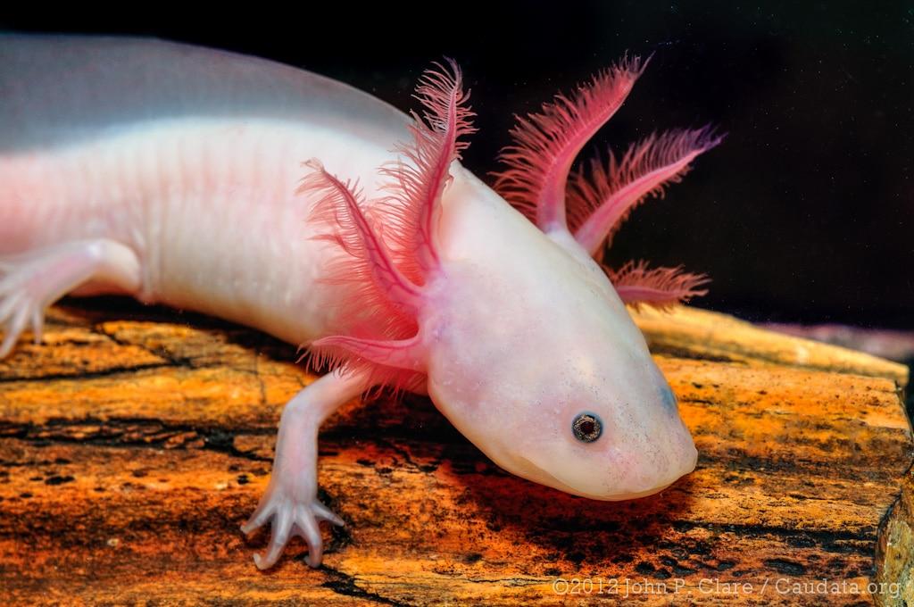 Axolote Ambystoma • A salamandra Axolote (Ambystoma mexicanum)