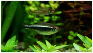 Hyphessobrycon axelrodi
