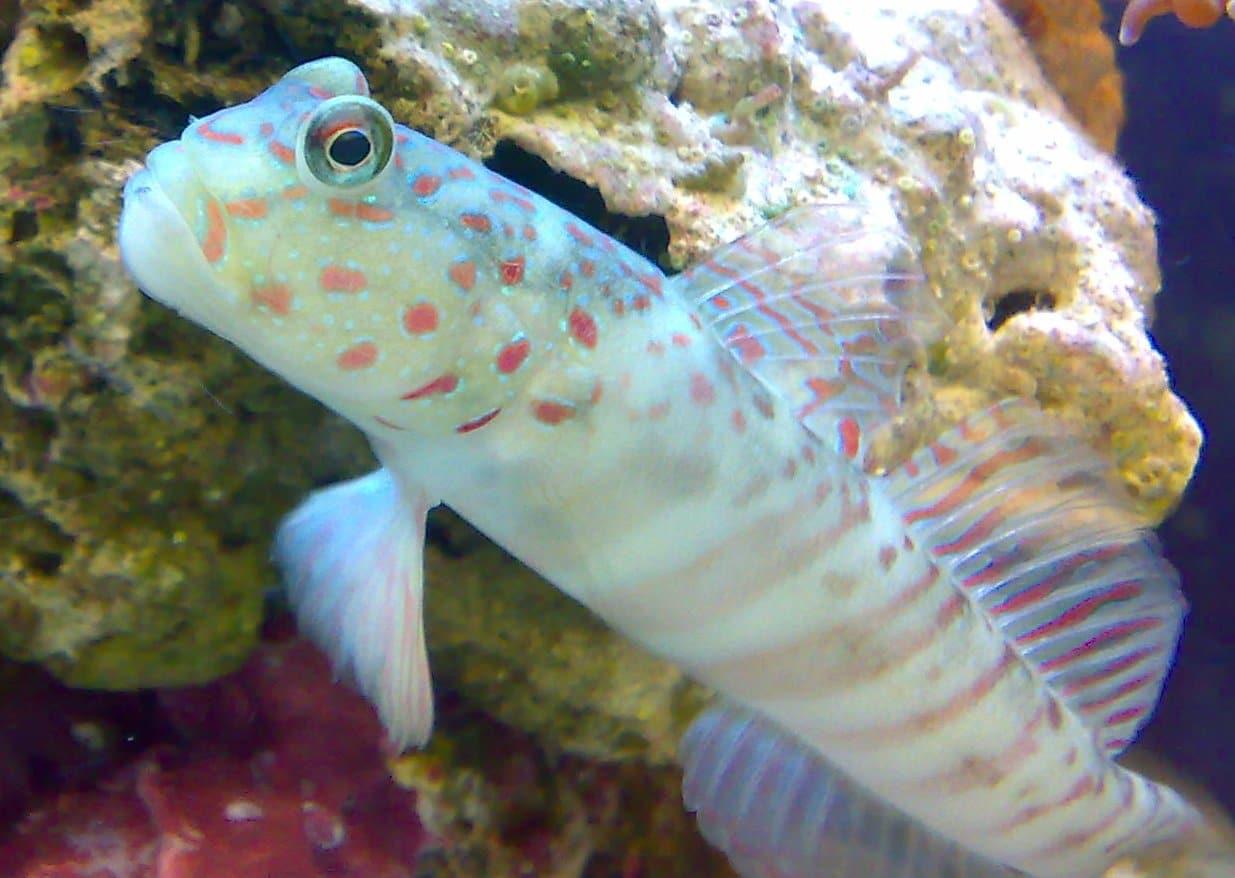 Peixes blenios criam patas e se reproduzem
