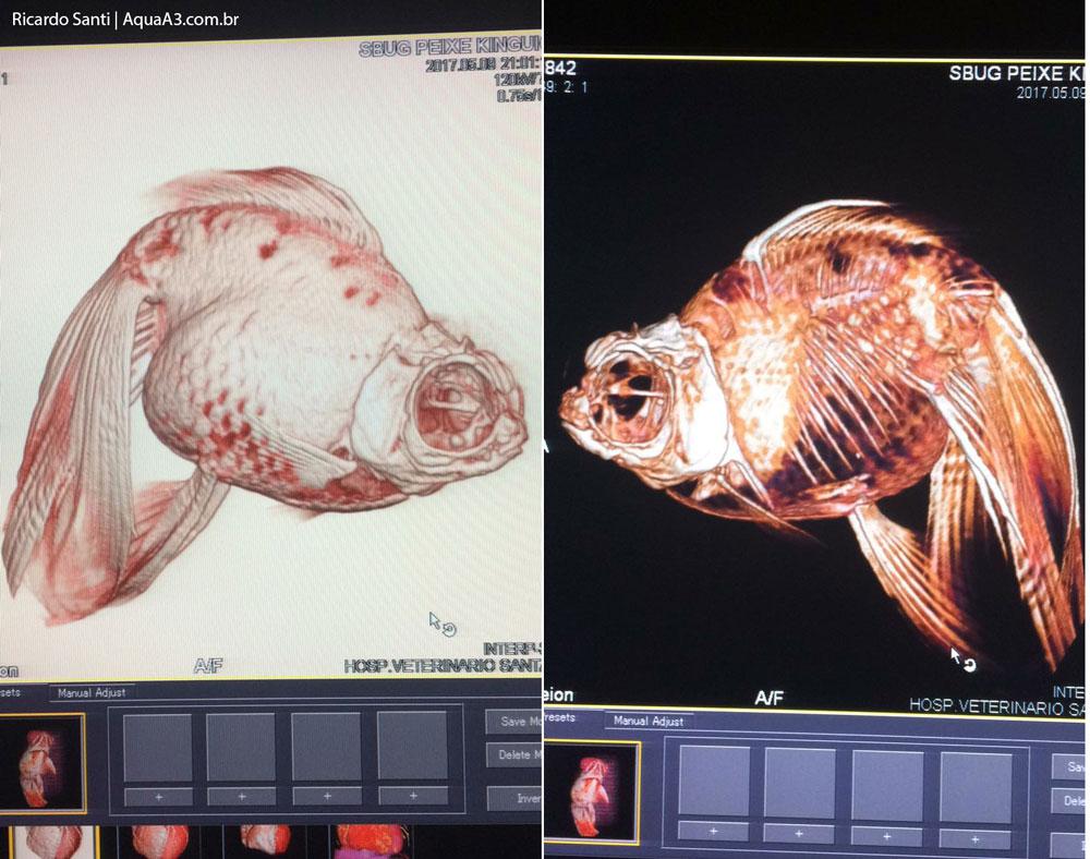 tomografia computadorizada no peixinho dourado scub