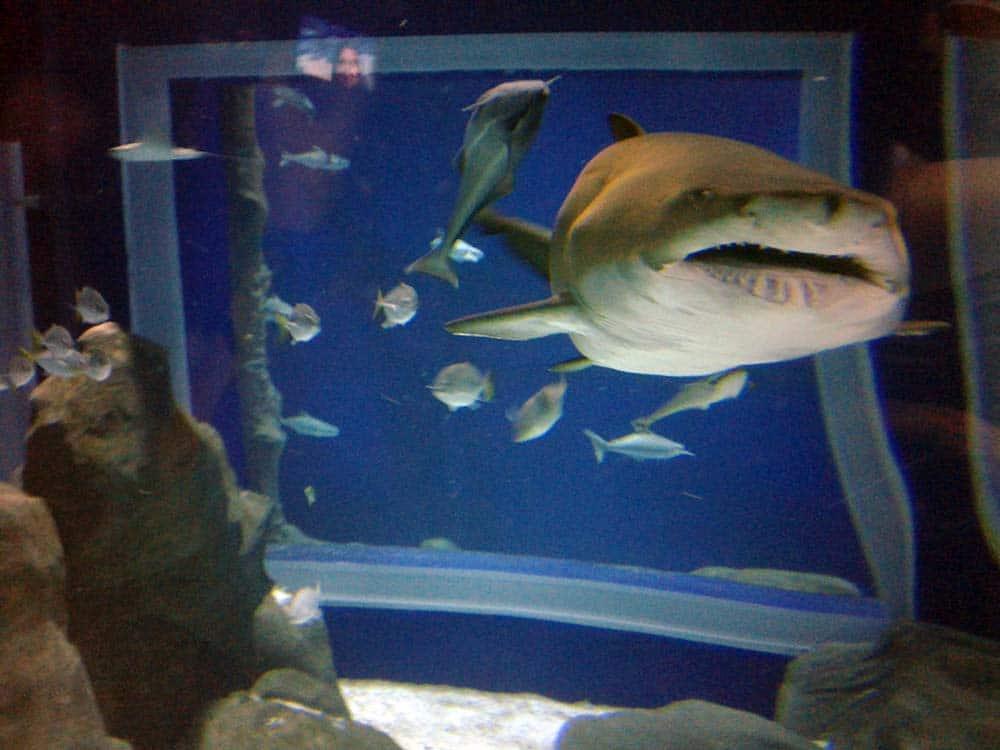 tubarão no aquário marinho do rio