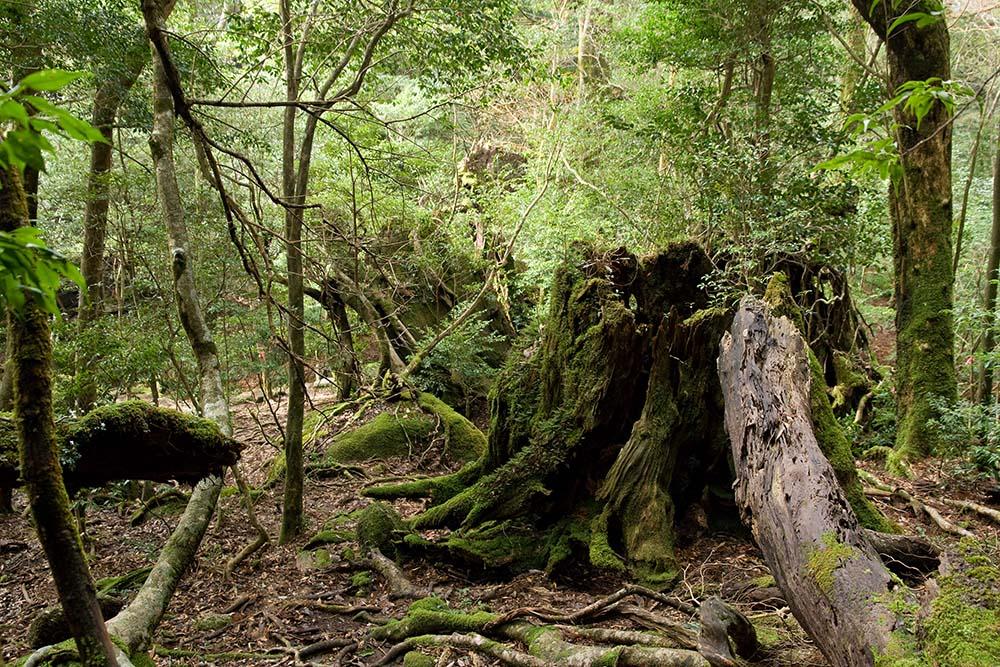 Floresta de Yakushima