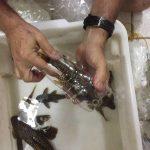 Peixes endemicos do rio Xingu e1508159501934 • Apreensão de peixes ornamentais com espécies desconhecidas