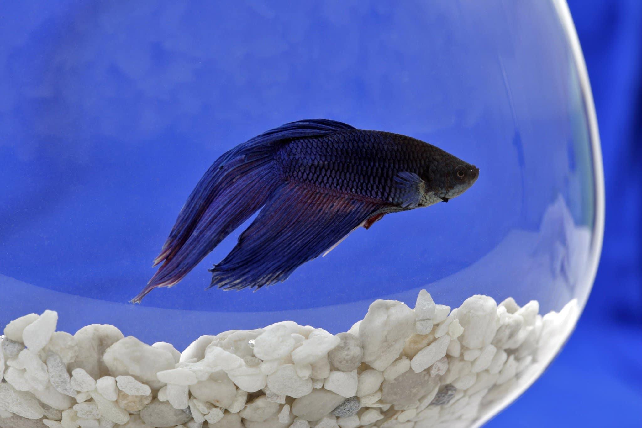 Bruce Lee, o peixe letárgico no quarto do hotel, estava mais rente ao substrato devido a depressão