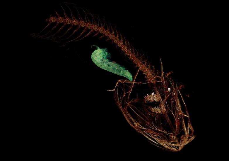 Cientistas descobrem peixe raro em profundidade recorde • Cientistas descobrem peixe raro em profundidade recorde