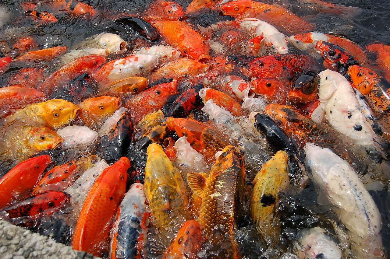 Não coloque muitos peixes no lago