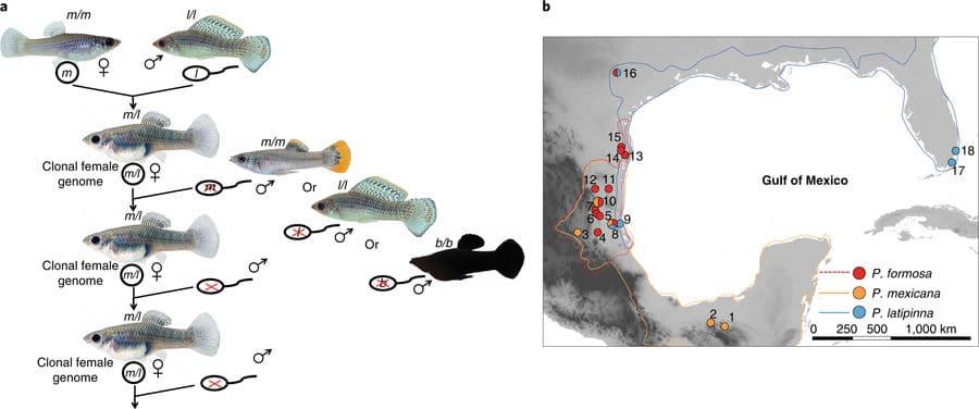 Esquema de reprodução de Molinésia Amazona (Poecilia formosa) origens geográficas de Poecilia formosa, Poecilia mexicana e Poecilia latipinna.