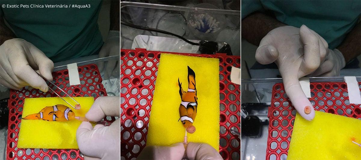 cirurgia Peixe-palhaço Amphiprion ocellaris Long Fin