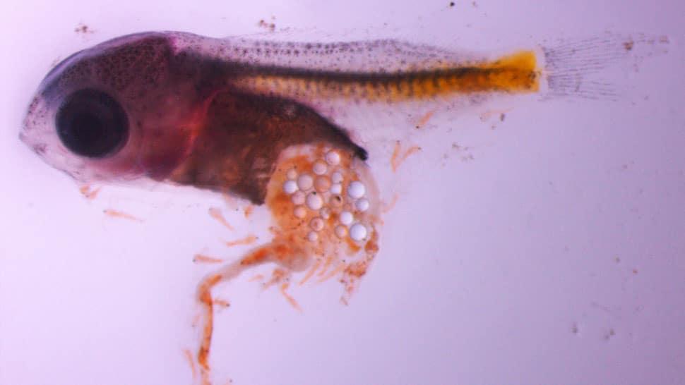 Larvas de Castanheta que ingeriram partículas microplasticas