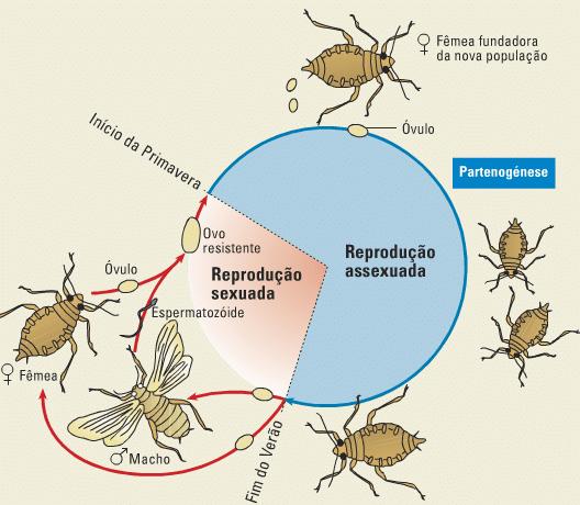 Exemplo ilustrativo de partenogênese