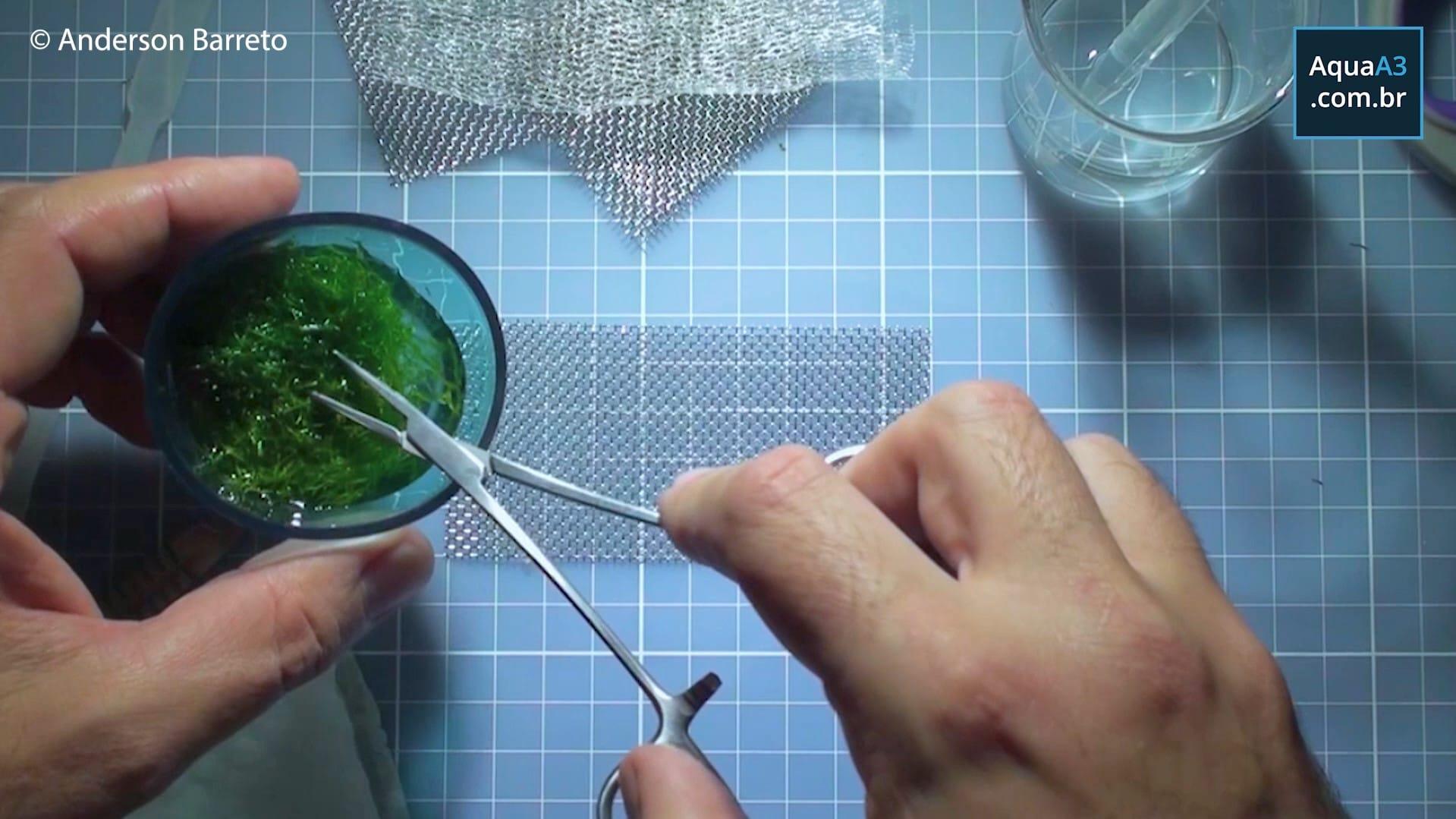 Coloque a tela inox sobre a mesa e separe a porção deRiccia fluitans
