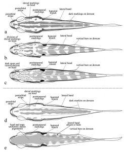 Crenicichla ploegi desenho dorsal