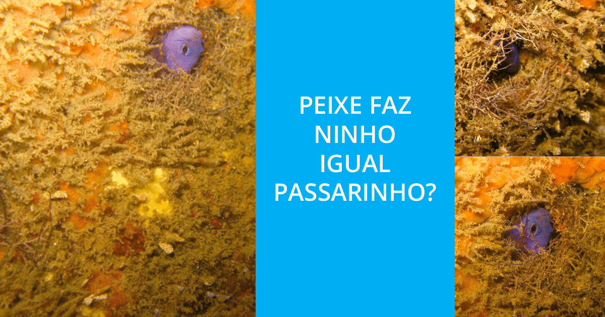 Gramma brasiliensis peix ninho passarinho • Gramma brasiliensis: peixe faz ninho igual passarinho?