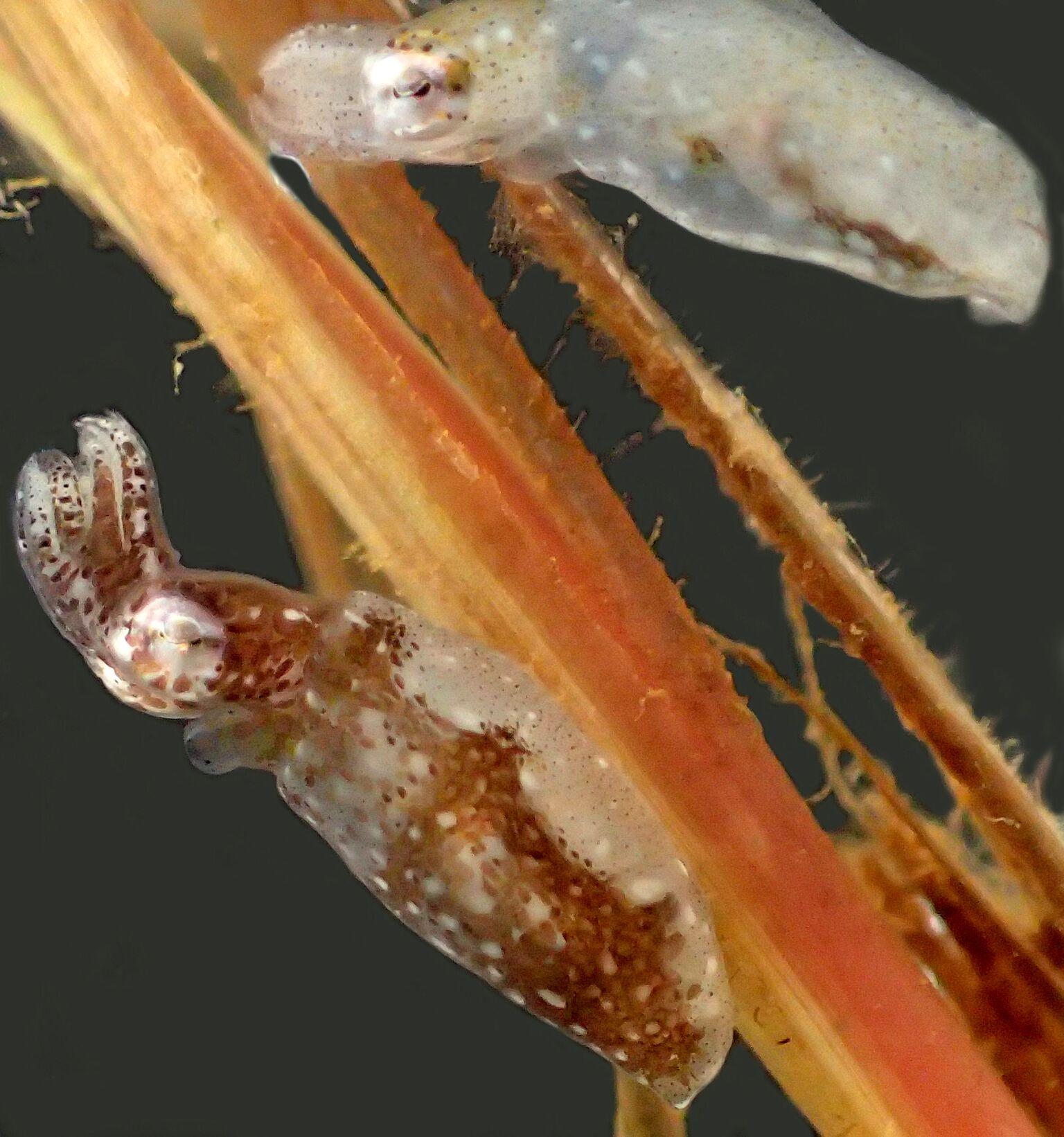 Idiosepius hallami é a nova espécie de lula anã