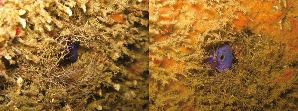 Ninhos construídos pelo peixe Gramma brasiliensis. O macho usou algas calcárias (Jania spp. e Gelidiopsis spp.) Para camuflar a entrada e entrelaçar as algas na construção do ninho.