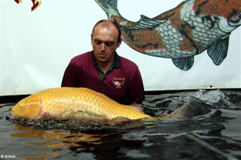 """Carpa gigante """"Big Girl"""" pesa 42 quilos e mede incríveis 1,2 metros, valendo 40 mil dólares."""