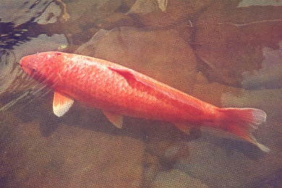 Hanako o peixe mais velho já registrado.