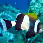 Amphiprion latezonatus • Peixes-palhaço tem personalidade?