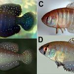 Austrolebias wichi 1 • Austrolebias wichi é o novo killifish