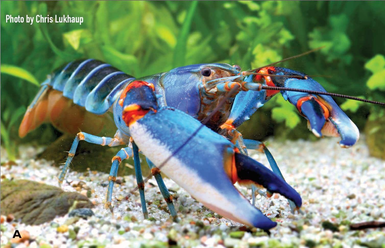 Cherax alyciae sp. n. • Cherax mosessalossa e C. alyciae são os novos lagostins