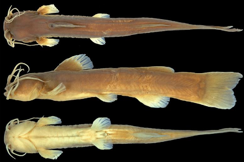 Amblyceps improcerum