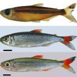 """bryconops 1 • Bryconops sapezal é a novo espécie de peixe """"Tetra""""."""