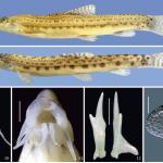 cobitis brr • Cobitis brachysoma e C. oxycephala são as novas bótias
