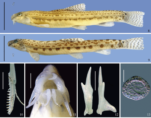 Cobitis Brachysoma e orgãos específicos