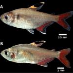 hyphessobrycon piorskii • Hyphessobrycon piorskii é o novo tetra do Maranhão