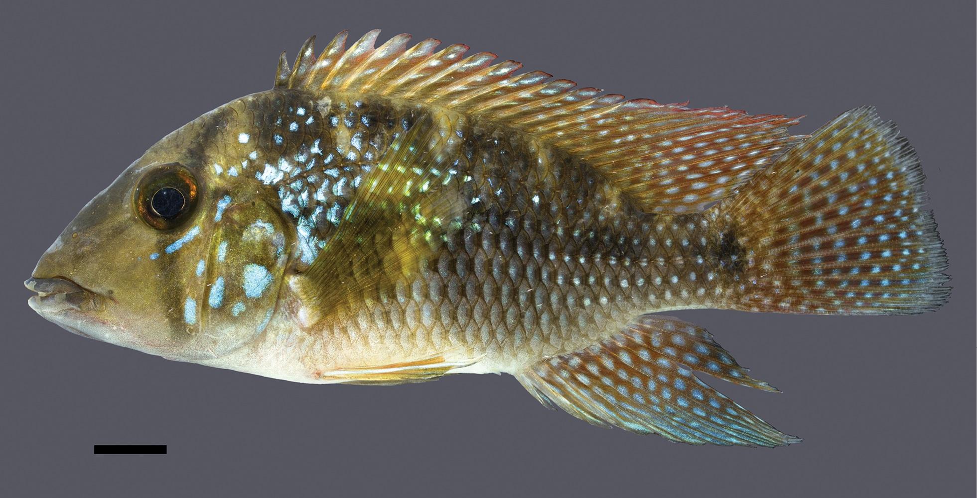 Geophagus rufomarginatus • Três novos Geophagus são descobertos no nordeste